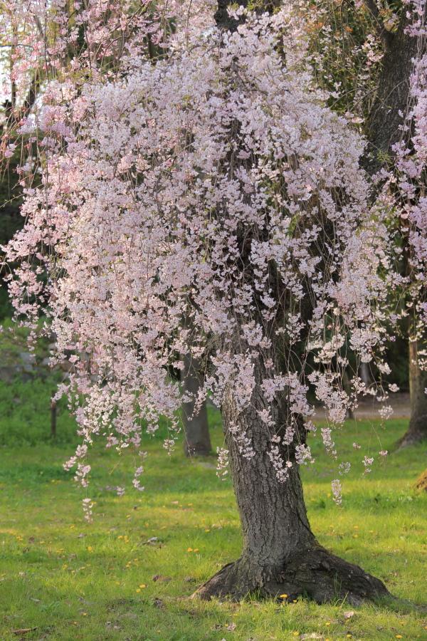 桜 2014 京都<二条城>                     _f0021869_23304583.jpg