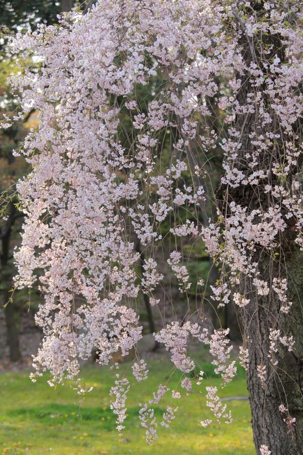 桜 2014 京都<二条城>                     _f0021869_2331181.jpg