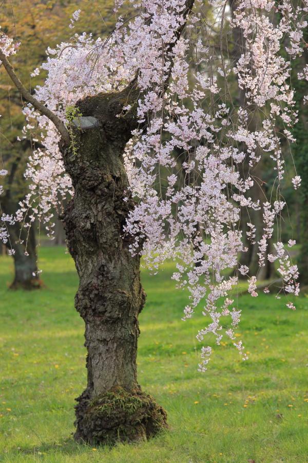 桜 2014 京都<二条城>                     _f0021869_2331260.jpg