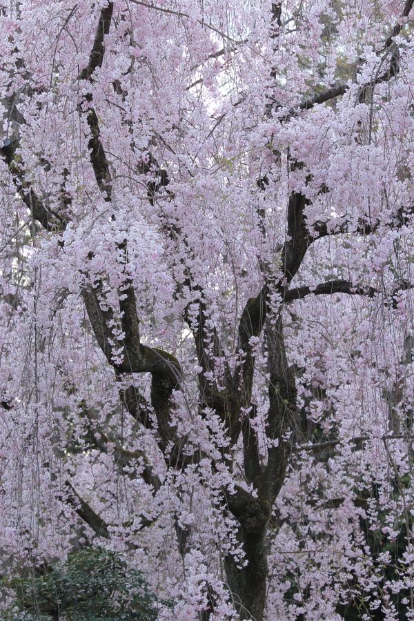 桜 2014 京都<二条城>                     _f0021869_23315074.jpg