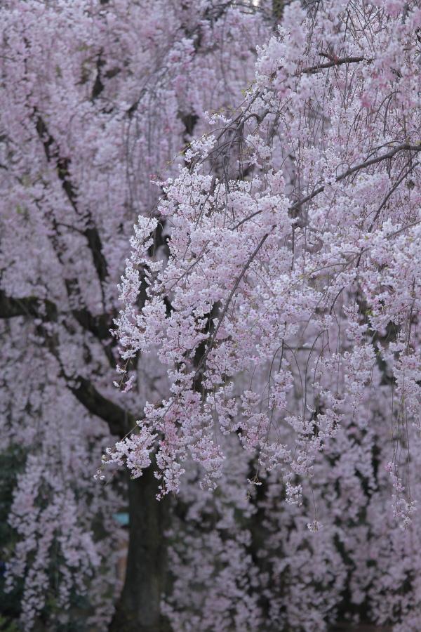 桜 2014 京都<二条城>                     _f0021869_2332371.jpg