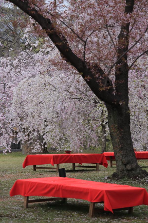 桜 2014 京都<二条城>                     _f0021869_233253100.jpg