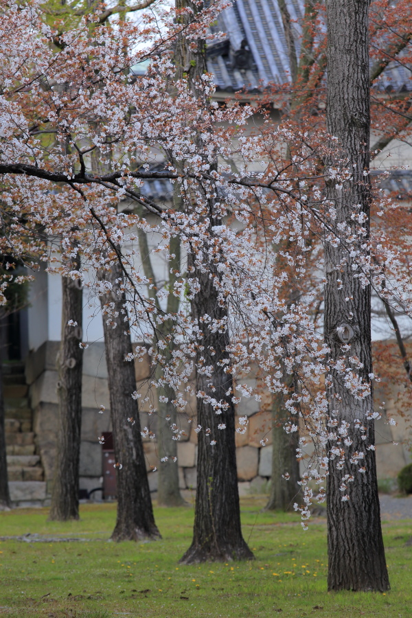 桜 2014 京都<二条城>                     _f0021869_23325629.jpg
