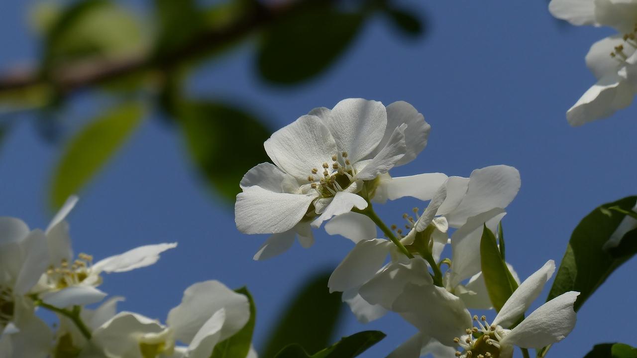 利休梅も咲きました。_a0185081_1051563.jpg