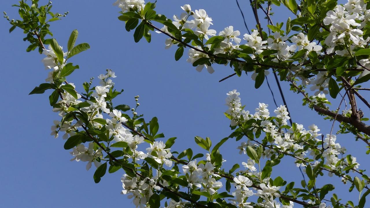 利休梅も咲きました。_a0185081_10523850.jpg