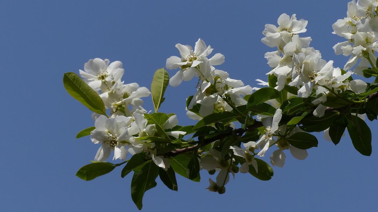 利休梅も咲きました。_a0185081_1053473.jpg