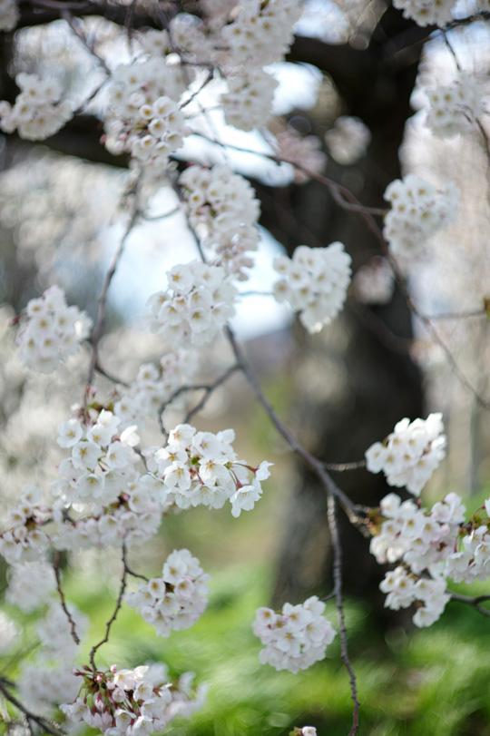 今日の櫻2014.4.11 サクラ開放部隊 III_e0082981_13251634.jpg
