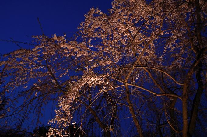 今日の櫻2014.4.11 サクラ開放部隊 III_e0082981_1326169.jpg
