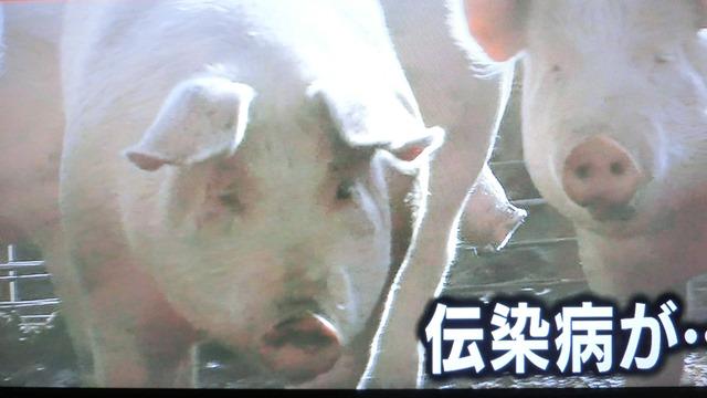 熊本県多良木町で鳥インフルエンザが発生、子豚の赤ちゃんが病原菌PDEに襲われる、STAP細胞に期待_d0181492_18214078.jpg