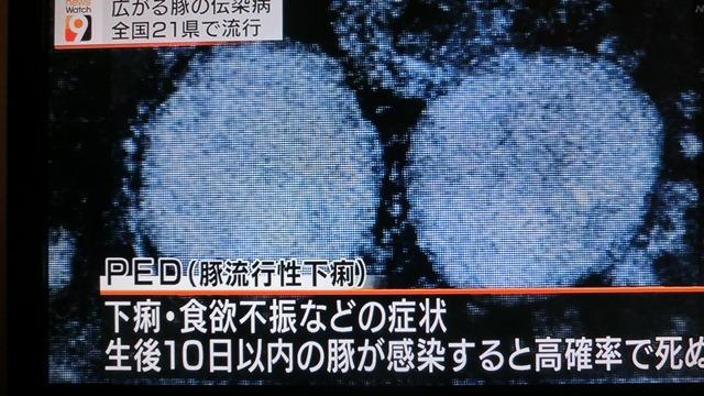 熊本県多良木町で鳥インフルエンザが発生、子豚の赤ちゃんが病原菌PDEに襲われる、STAP細胞に期待_d0181492_18221652.jpg