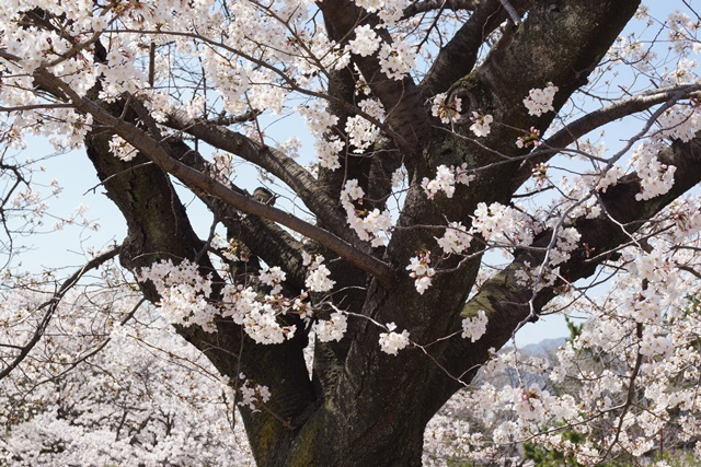 小保方晴子さんに見せたい夙川公園の桜、宝塚歌劇100周年と桜、春爛漫美しい桜の名所夙川公園_d0181492_2332739.jpg