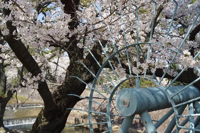 小保方晴子さんに見せたい夙川公園の桜、宝塚歌劇100周年と桜、春爛漫美しい桜の名所夙川公園_d0181492_2341355.jpg