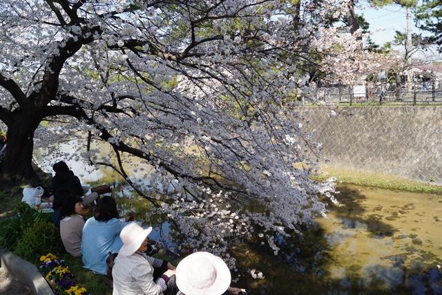小保方晴子さんに見せたい夙川公園の桜、宝塚歌劇100周年と桜、春爛漫美しい桜の名所夙川公園_d0181492_2342542.jpg