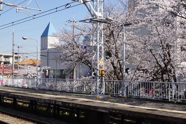 小保方晴子さんに見せたい夙川公園の桜、宝塚歌劇100周年と桜、春爛漫美しい桜の名所夙川公園_d0181492_236532.jpg