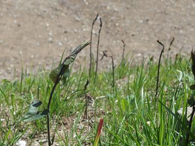 ウマノスズクサの芽が怪しく大発生_f0108133_19587.jpg