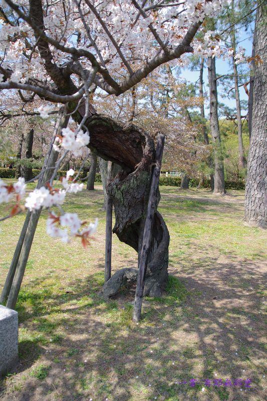 京都御苑・逞しい・桜_a0157263_01262045.jpg