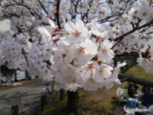 ほぼ満開!お花見日和です!_e0266363_14442262.jpg