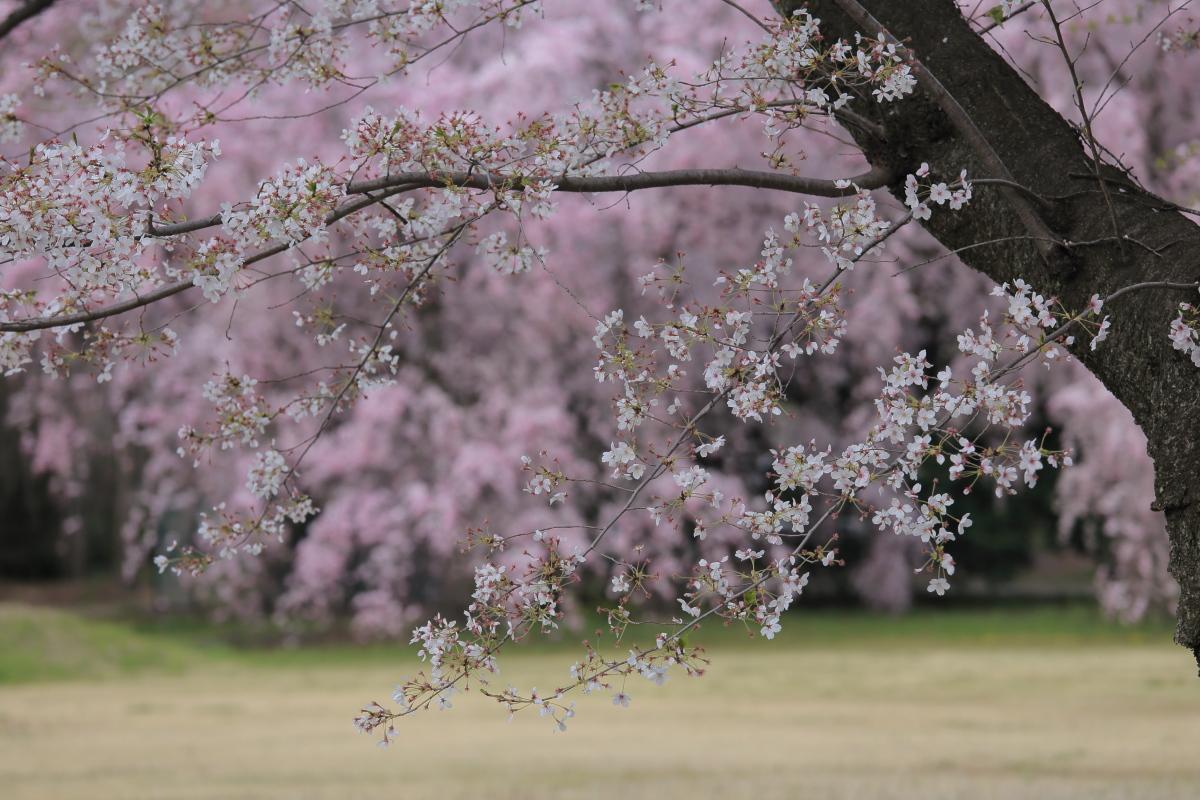 桜 2014 京都<二条城>                     _f0021869_23333316.jpg