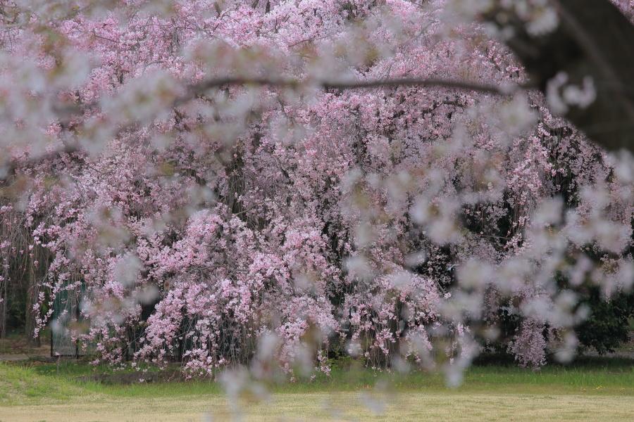 桜 2014 京都<二条城>                     _f0021869_23341884.jpg