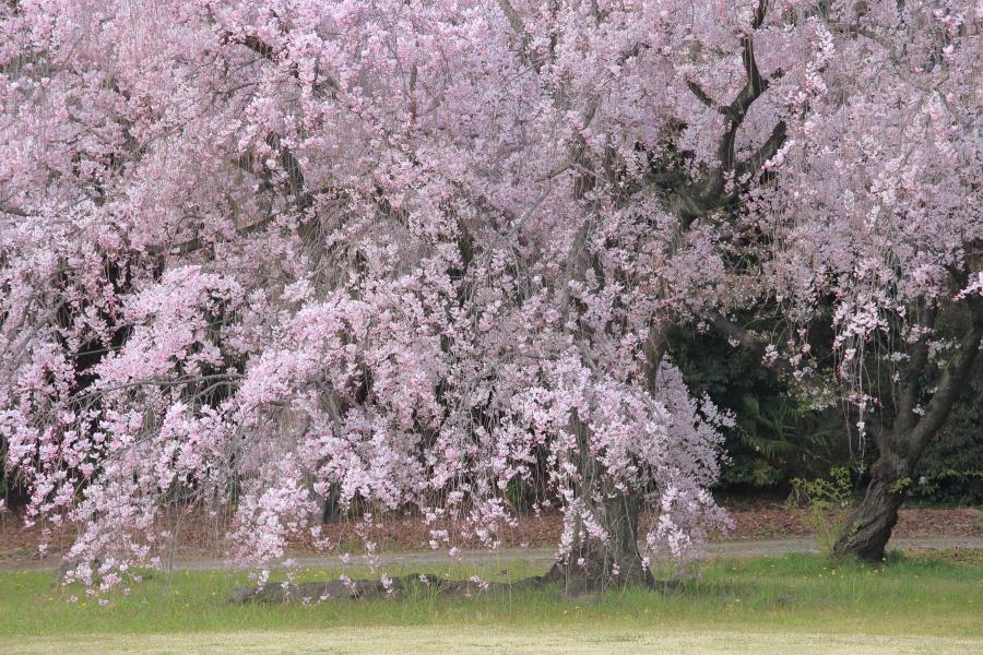 桜 2014 京都<二条城>                     _f0021869_23351520.jpg