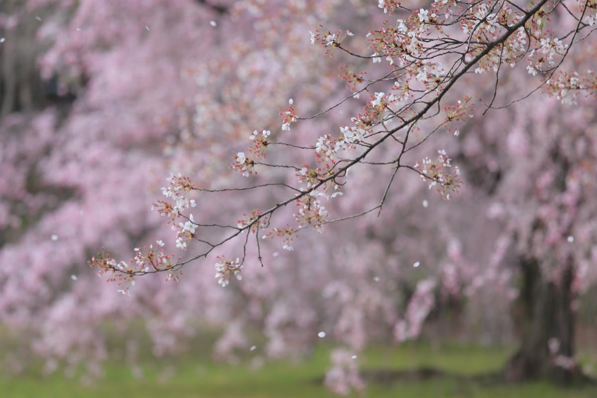 桜 2014 京都<二条城>                     _f0021869_23355840.jpg