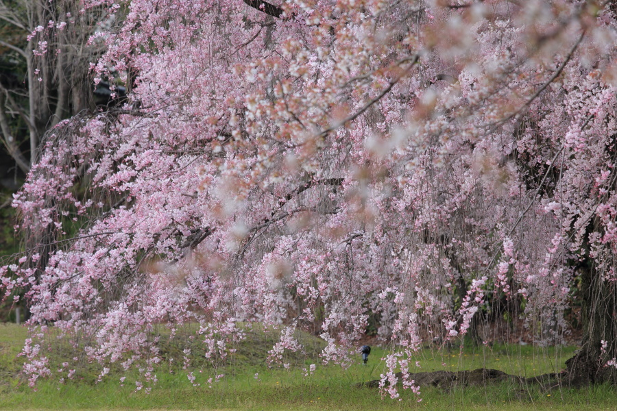 桜 2014 京都<二条城>                     _f0021869_23361170.jpg