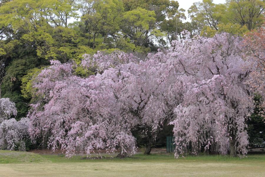 桜 2014 京都<二条城>                     _f0021869_23365687.jpg