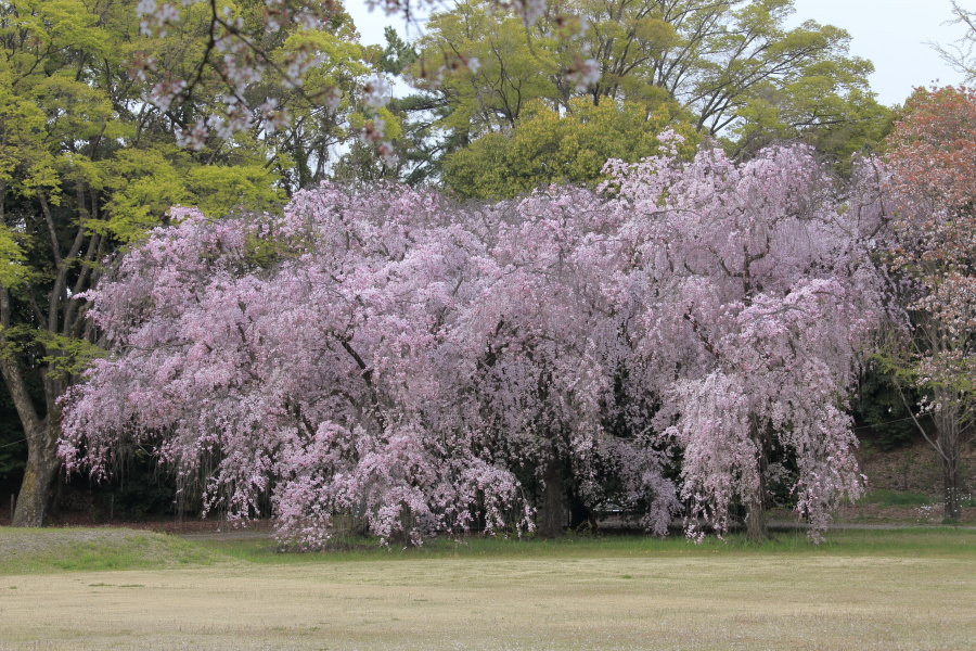 桜 2014 京都<二条城>                     _f0021869_23365958.jpg