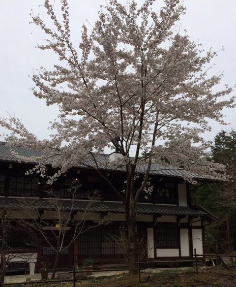 今年の桜_a0080074_22105635.jpg