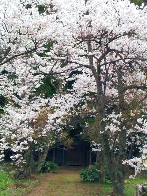 実家跡地の桜と大山_a0098174_22385428.jpg