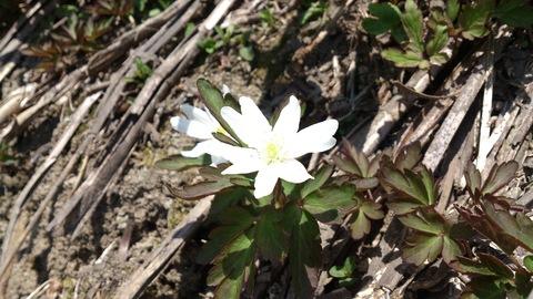 春の野の花と春のごはん。_d0182179_1535016.jpg
