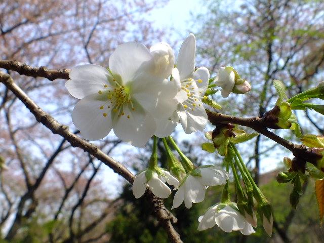 4月10日 三ッ池公園_e0145782_6131252.jpg