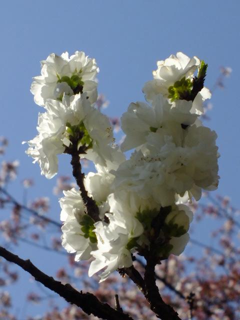 4月10日 三ッ池公園_e0145782_6152698.jpg