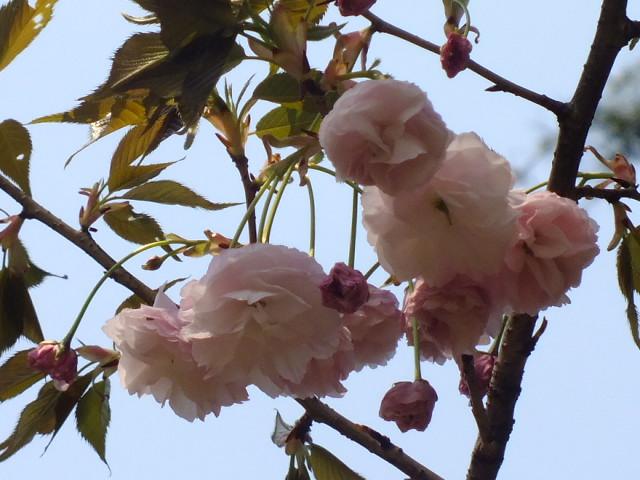 4月10日 三ッ池公園_e0145782_693711.jpg