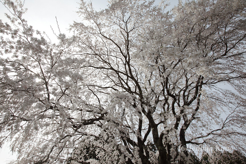 今年の桜 1_a0256586_2323070.jpg