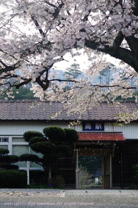 桜の散り際_d0309612_2253429.jpg