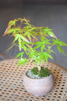 季節の盆栽仲間入り_d0263815_1611354.jpg