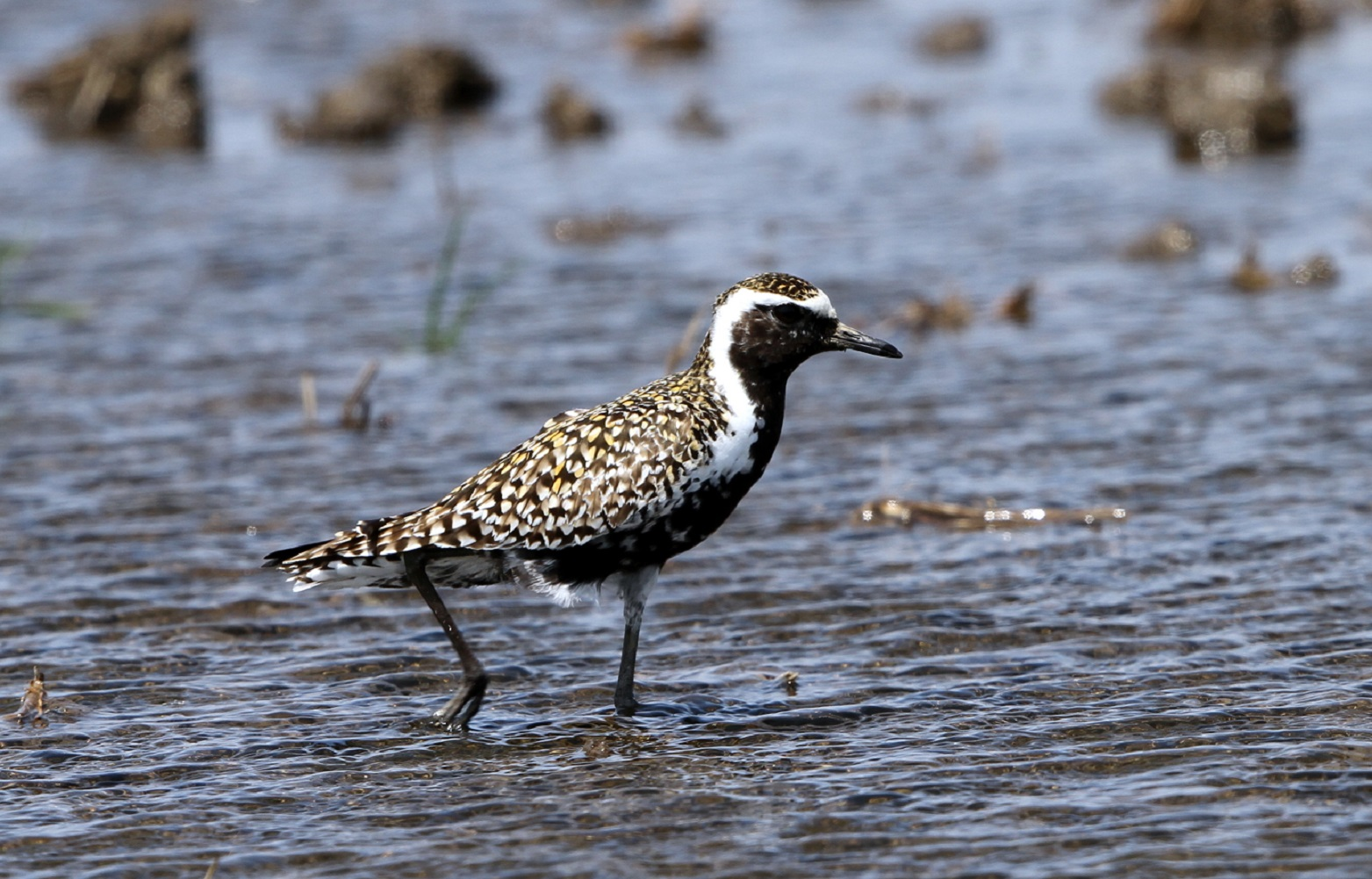 ムナグロ(冬羽・夏羽の混在した)10羽ほどの群れが水田に : 私の鳥 ...