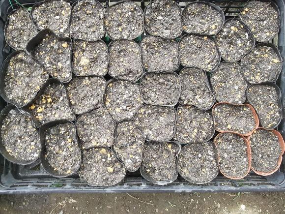 レタス類の苗は、畑デデビュー間近です。_b0137932_9502138.jpg