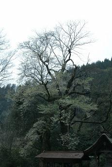 池の鶴の大桜_e0149436_19201883.jpg
