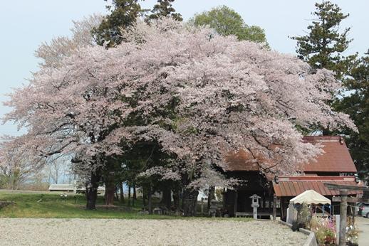 桜 ・ 今咲き誇る_e0222836_23121872.jpg