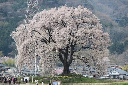 桜 ・ 今咲き誇る_e0222836_2325989.jpg