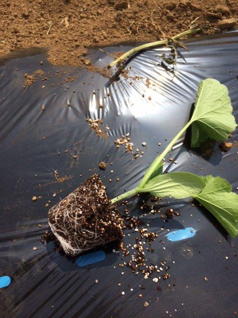 さて ズッキーニの定植です・・。3種類 カボチャ&キュウリも・・_c0222448_13573434.jpg
