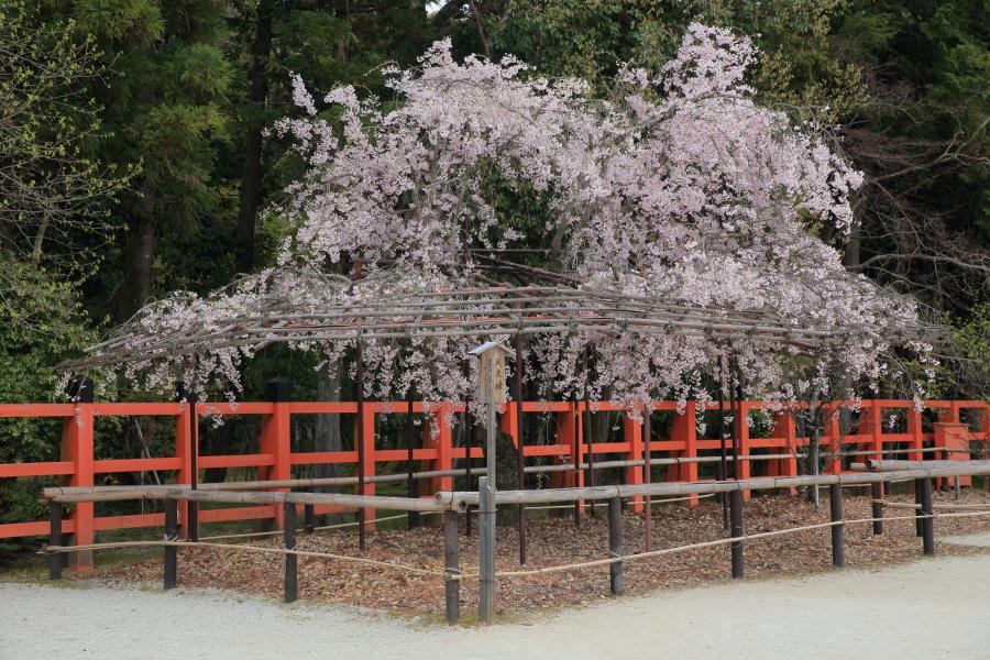 桜 2014 京都<上賀茂神社>                     _f0021869_22245027.jpg