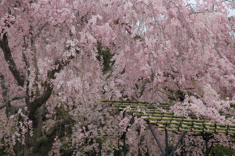 桜 2014 京都<上賀茂神社>                     _f0021869_2224509.jpg