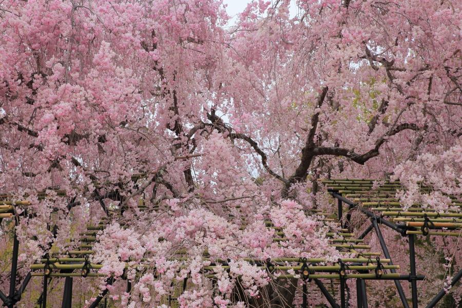 桜 2014 京都<上賀茂神社>                     _f0021869_2225570.jpg
