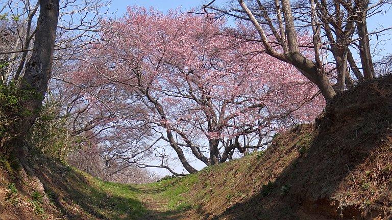 七ヶ浜 大木桜 5分咲き_a0027972_18195419.jpg