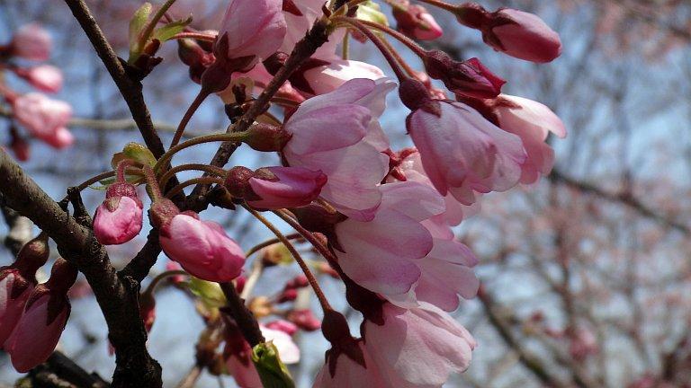 七ヶ浜 大木桜 5分咲き_a0027972_18243889.jpg