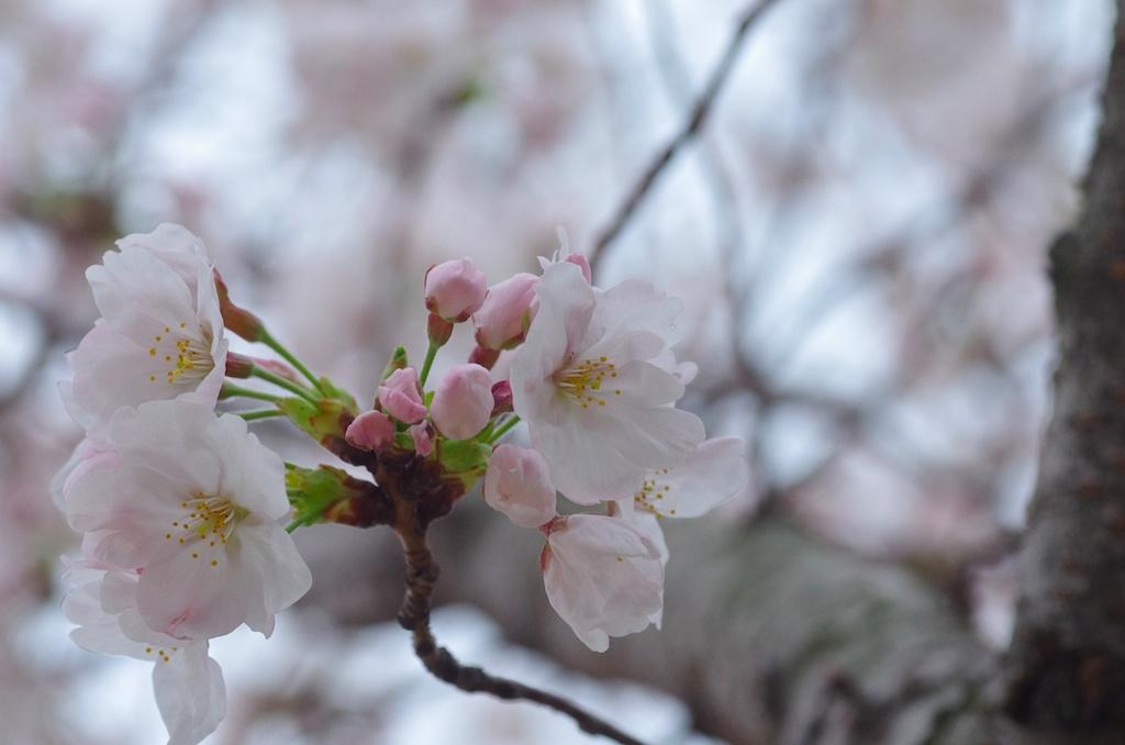 地元の桜_e0139376_22104866.jpg