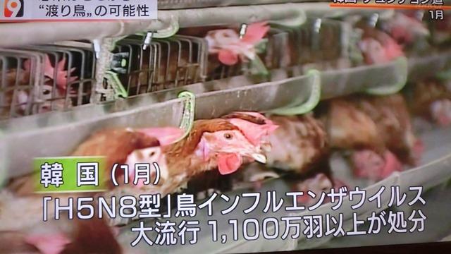 熊本県多良木町で鳥インフルエンザが発生、子豚の赤ちゃんが病原菌PDEに襲われる、STAP細胞に期待_d0181492_22524142.jpg